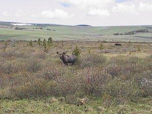 Moose 005